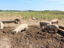 Die Bäuerei - Löhmer Weideschweine im Dreck